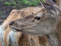 Young deer. Photo taken in Karelia in the zoo Royalty Free Stock Images