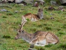 Young deer Stock Photos