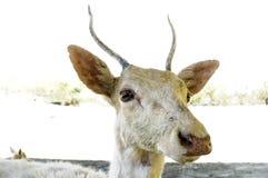 Young deer closeup Stock Photography