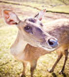 Young deer portrait Royalty Free Stock Images