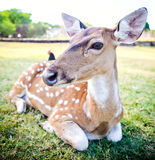 Young deer portrait. In a field Stock Photography