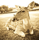 Young deer portrait Royalty Free Stock Photos