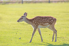 Young deer portrait on green grass field farm. Young deer portrait on green grass field farm Stock Images