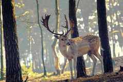 Young deer posing in the forest Royalty Free Stock Image