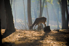 Young deer posing in the forest Royalty Free Stock Photos
