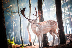 Young deer posing in the forest, netherlands Royalty Free Stock Image