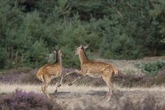 Young deer in the quarrel Royalty Free Stock Image