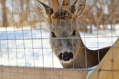 Young deer at the reservation Royalty Free Stock Photos