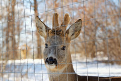 Young deer at the reservation Royalty Free Stock Photography