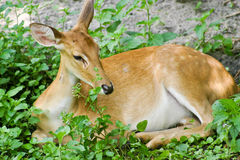 Young deer resting. A beatuiful young deer resting in some foliage stock photos