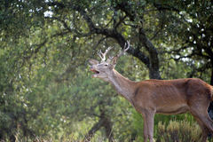 Young deer roaring Royalty Free Stock Photos