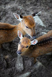 Young deer roe baby and deer mother Stock Photos
