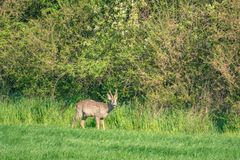 young deer runs across a green meadow and eats grass royalty free stock photos