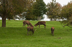 Young Deer Rutting. Young Deer Stags start Rutting trying out their new Antlers Stock Photos