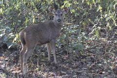 Young deer sambar who stands on the edge of a forest in the wint Royalty Free Stock Image