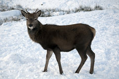 Young Deer in the Scottish snow Royalty Free Stock Photography