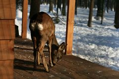 Young deer in search of food. royalty free stock photos