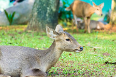 Young Deer sitting with grass field royalty free stock photo