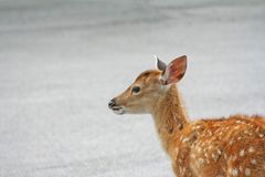 Young deer sitting on the road royalty free stock image