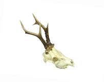 Young deer skull Stock Photography