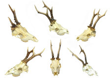 Young deer skulls Stock Photos