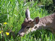Young deer sniffing grass Stock Photos