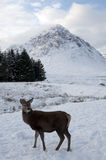 Young Deer in the snow at Glen Coe in Scotland Royalty Free Stock Photo