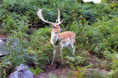 Young deer stag Royalty Free Stock Photography