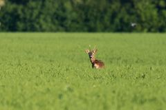 A young deer stag on a field Royalty Free Stock Photo