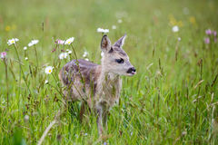 Young deer standing on blooming meadow. Summer fauna and flora. Royalty Free Stock Images