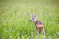Young deer standing on blooming meadow. Summer fauna and flora. Wildlife Royalty Free Stock Photo