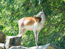 Young deer standing on a rock in the forest stock photos
