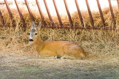 Young deer on straw royalty free stock photos