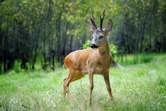 Young deer in summer forest Stock Images