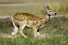Young deer in the sun. Stock Image