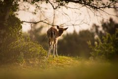 Young deer in sunrise royalty free stock photo