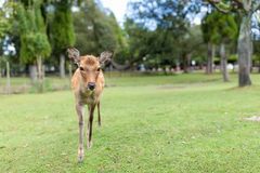 Young Deer walking in a park. Outdoor beautiful scenery landscape Stock Photography