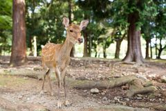 Young deer walking at a park. Outdoor beautiful scenery landscape Stock Images