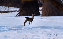 Young deer watching me Stock Images