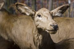 Young deer is watching you Royalty Free Stock Photo