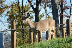 Young deer Stock Image