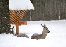 Young deer in winter Stock Images