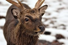 Young deer in winter Royalty Free Stock Image