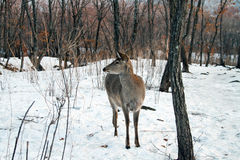 Young deer in winter forest. Stock Images