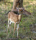 Young deer in the woods. Mule deer fawn at the edge of a wooded area Stock Photo