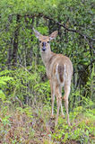 Young Deer in the Woods. A young deer standing in the woods looking back royalty free stock photos