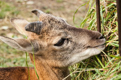 Young deer in Wroclaw ZOO. A young deer during a meal. Wroclaw ZOO, Poland Royalty Free Stock Image