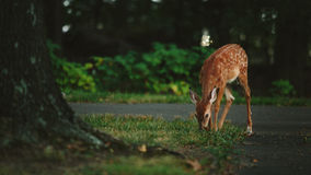 Young deer in yard Stock Photos