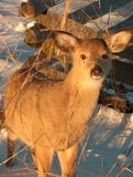 The Young Deer stock image