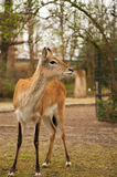 Young deer in zoo. Young deer without horns in zoo Royalty Free Stock Images